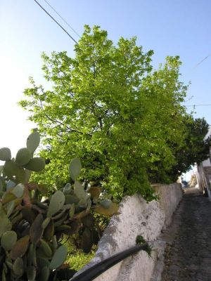Quercus virgiliana -