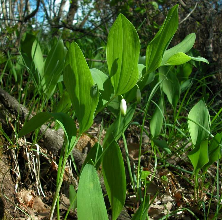 Polygonatum odoratum (Mill.) Druce