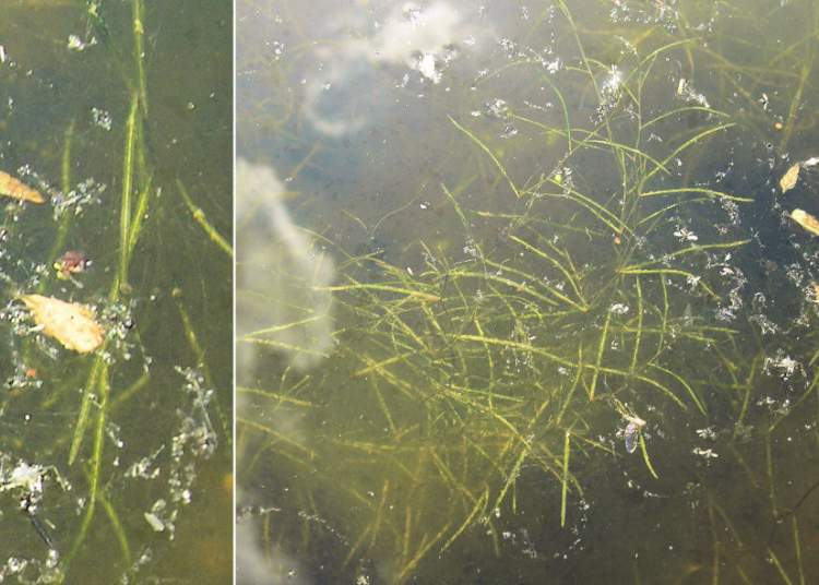 Potamogeton filiformis Pers.