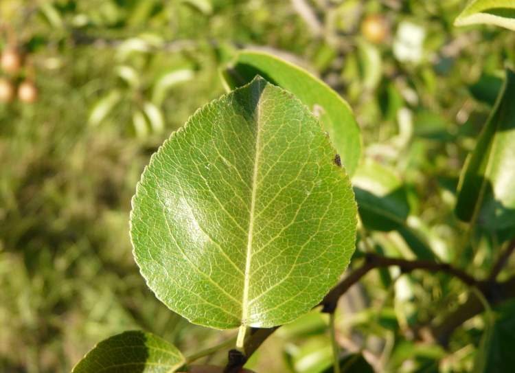 Pyrus cordata,