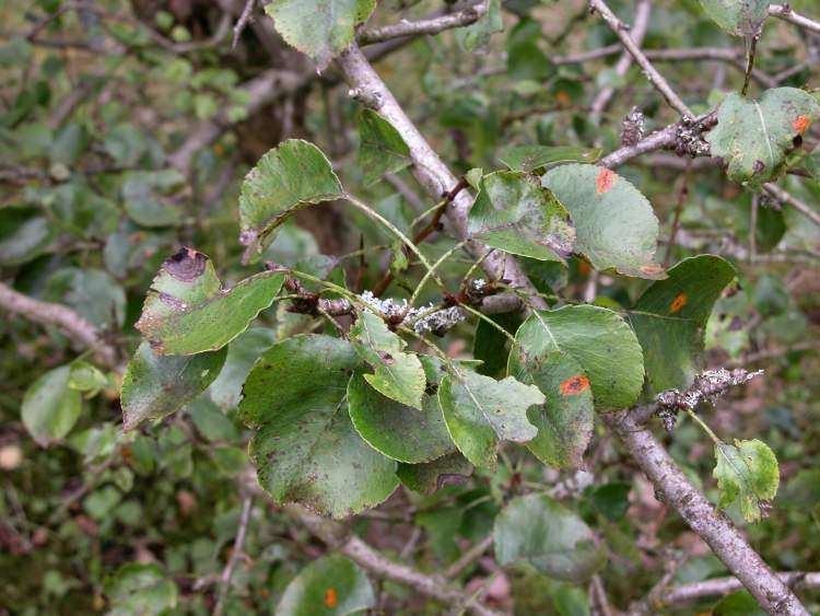 Pyrus pyraster,