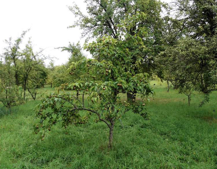 Pyrus pyrifolia,