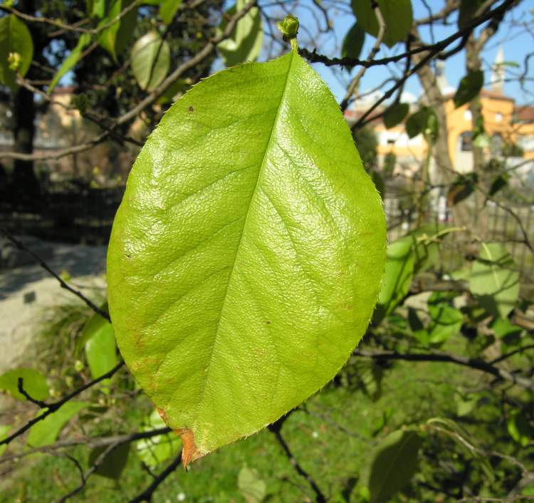 Pyrus sinensis