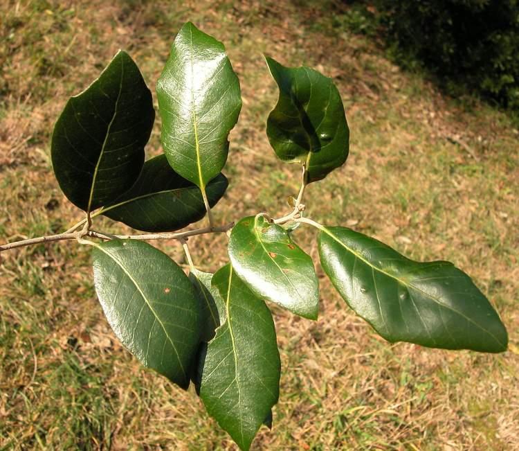 Quercus Congesta ... quercus mac...