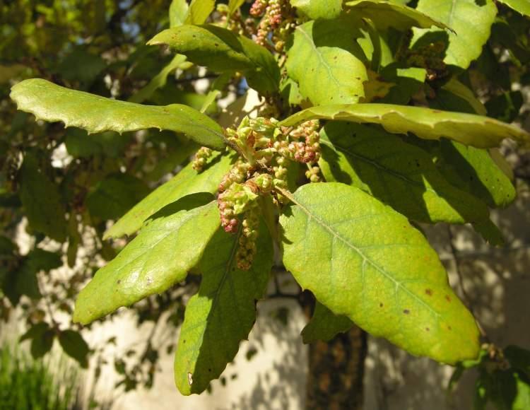 Quercus suber specie della flora italiana - Sughero pianta da giardino ...