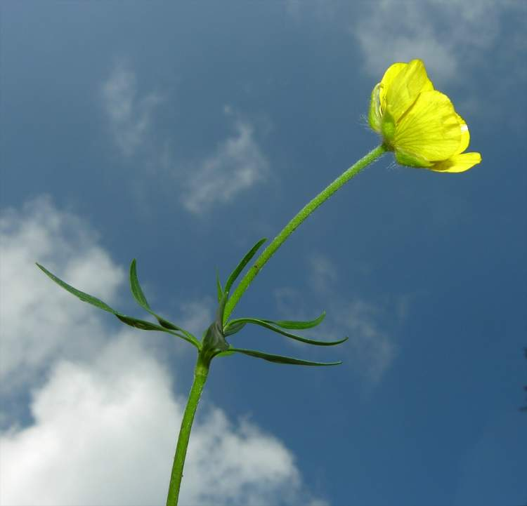 Ranunculus carinthiacus,