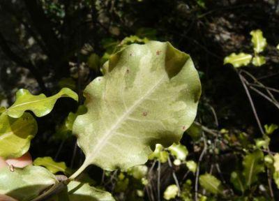 Pittosporum tenuifolium