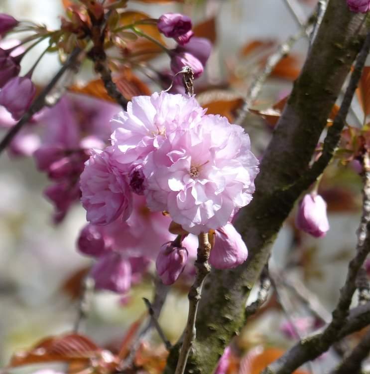 Prunus  Wikipedia