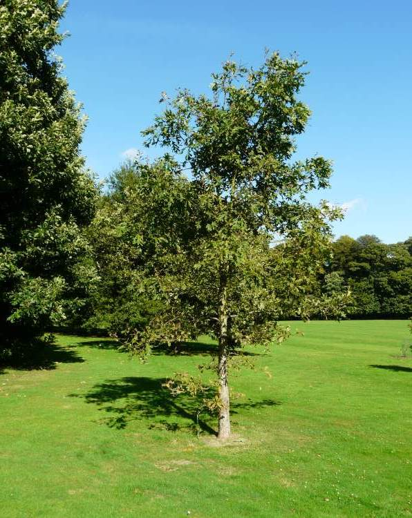 Quercus alba L. - white oak  Quercus alba L....