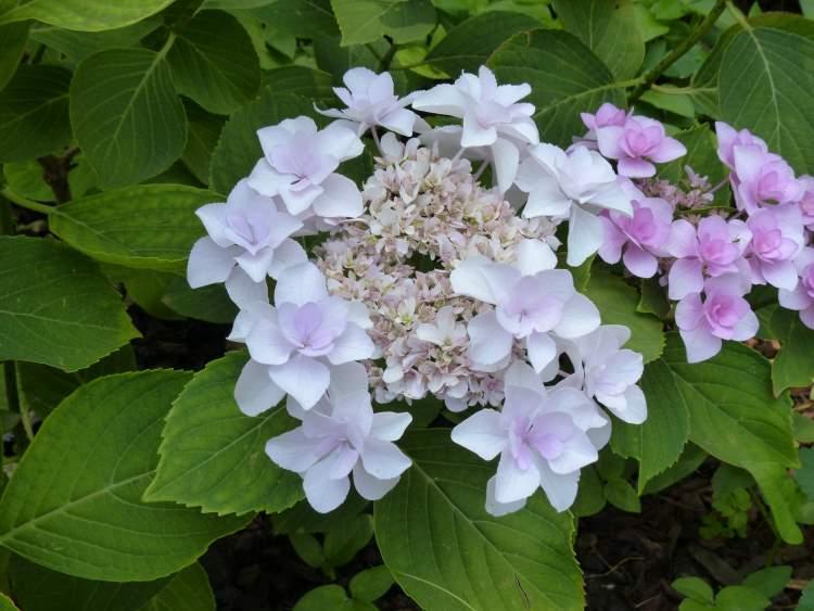 Wild hydrangea in full bloom scientific name hydrangea for Ortensia quercifolia