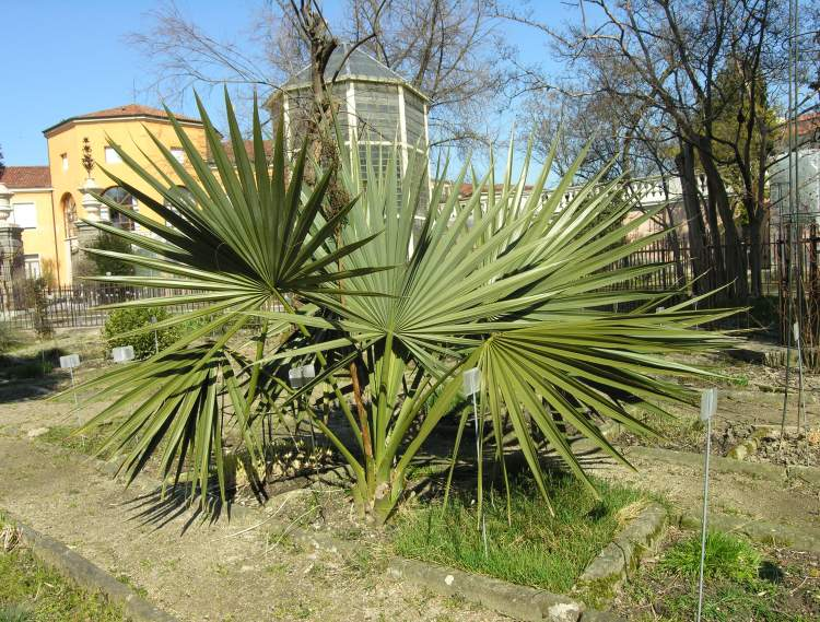 Cold Hardy Palms for Temperate Gardens  Article by Plant
