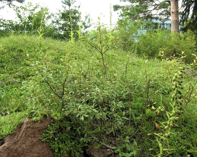 Salix arctica Pall. - arctic willow