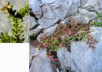 Selaginella helvetica (L.) Spring