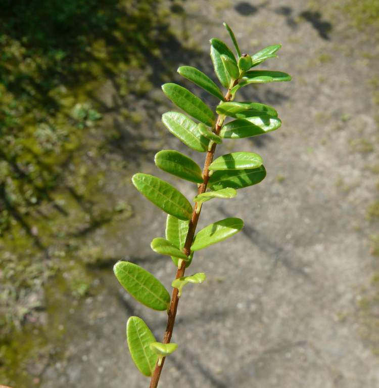 Vaccinium macrocarpon aiton cranberry for Vaccinium macrocarpon