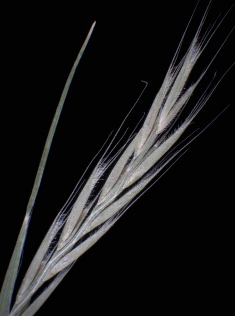Vulpia ciliata,