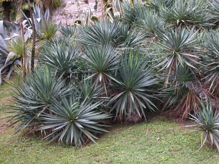yucca gloriosa specie della flora italiana. Black Bedroom Furniture Sets. Home Design Ideas