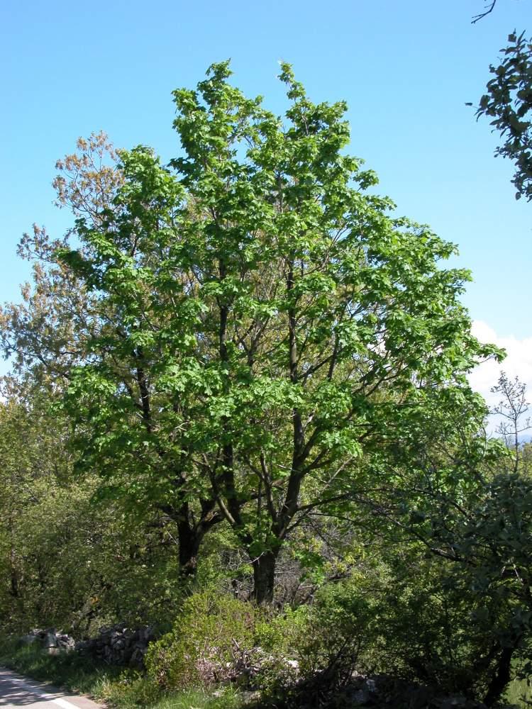 Acer platanoides specie della flora italiana for Acero riccio