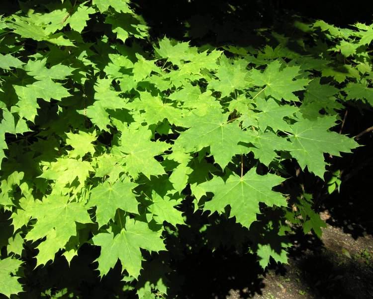 Acer platanoides acero riccio - Arce platanoide ...