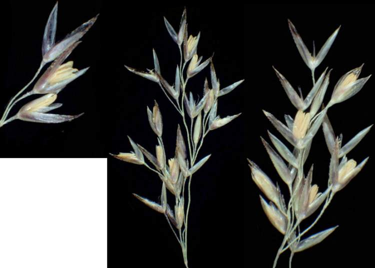 Agrostis castellana var. mutica