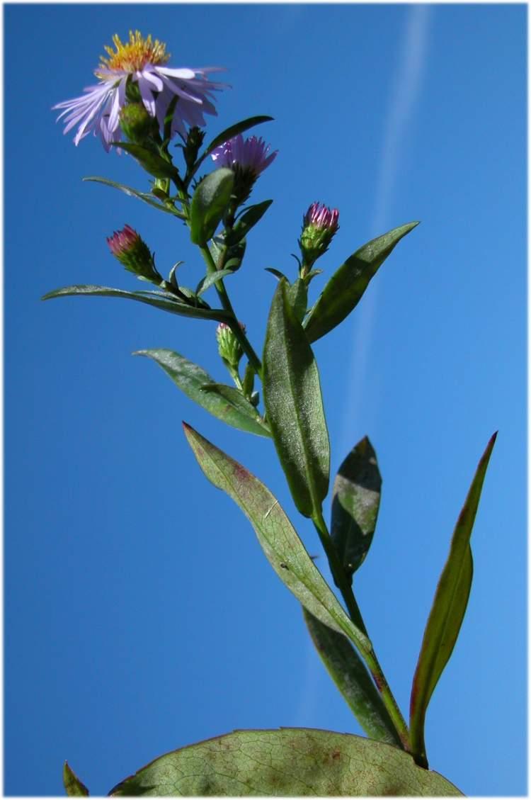 Aster amellus specie della flora italiana - Aster pianta ...