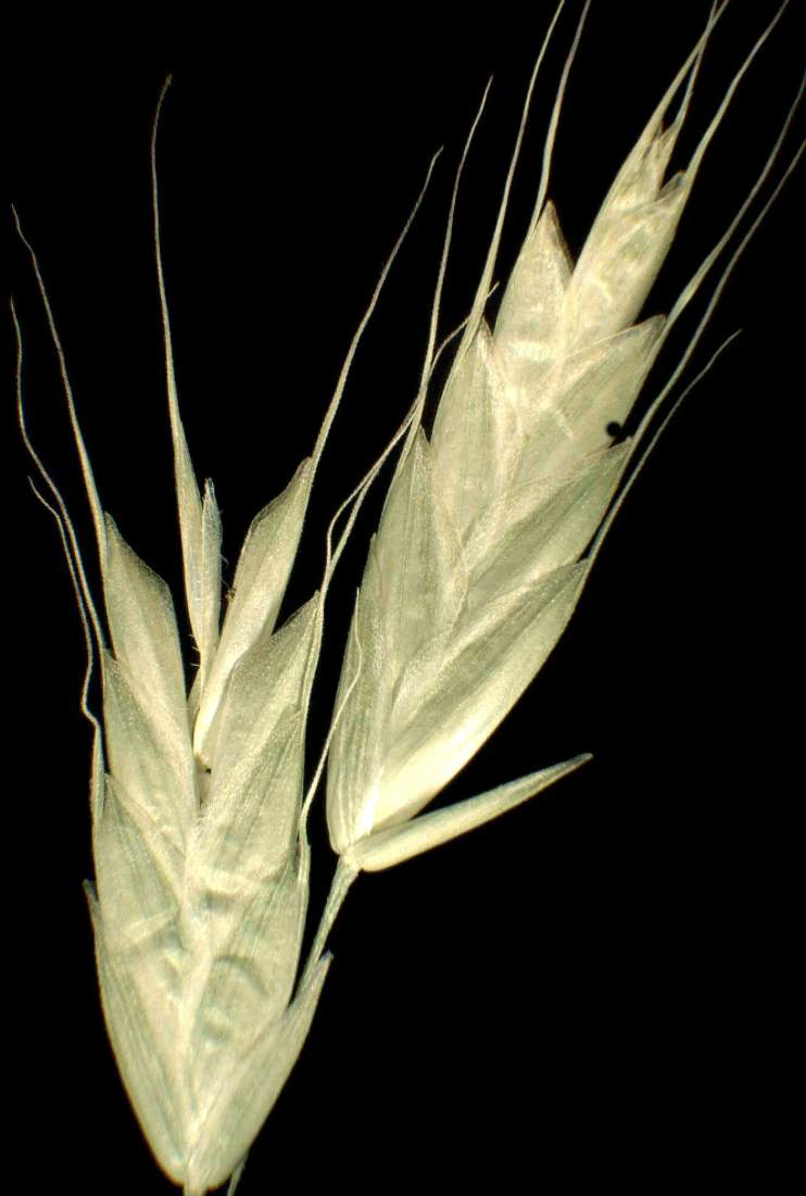 Bromus commutatus subsp. commutatus