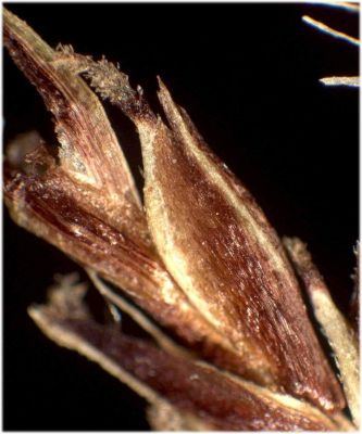 Carex ferruginea subsp. ferruginea -