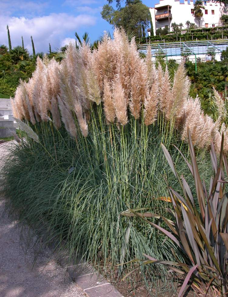 flora of north america genus cortaderia. Black Bedroom Furniture Sets. Home Design Ideas