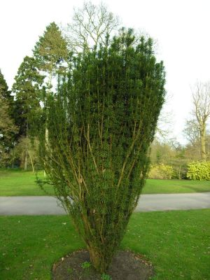 Cephalotaxus harringtonia - a