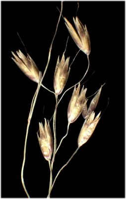 Deschampsia flexuosa subsp. flexuosa -