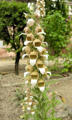 Digitalis lanata -