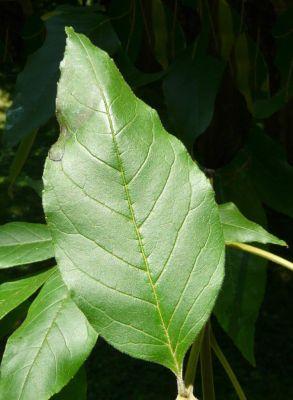 Fraxinus pennsylvanica
