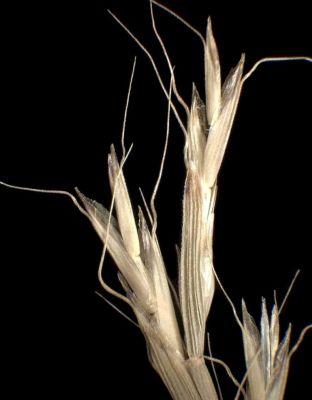 Gaudinia fragilis