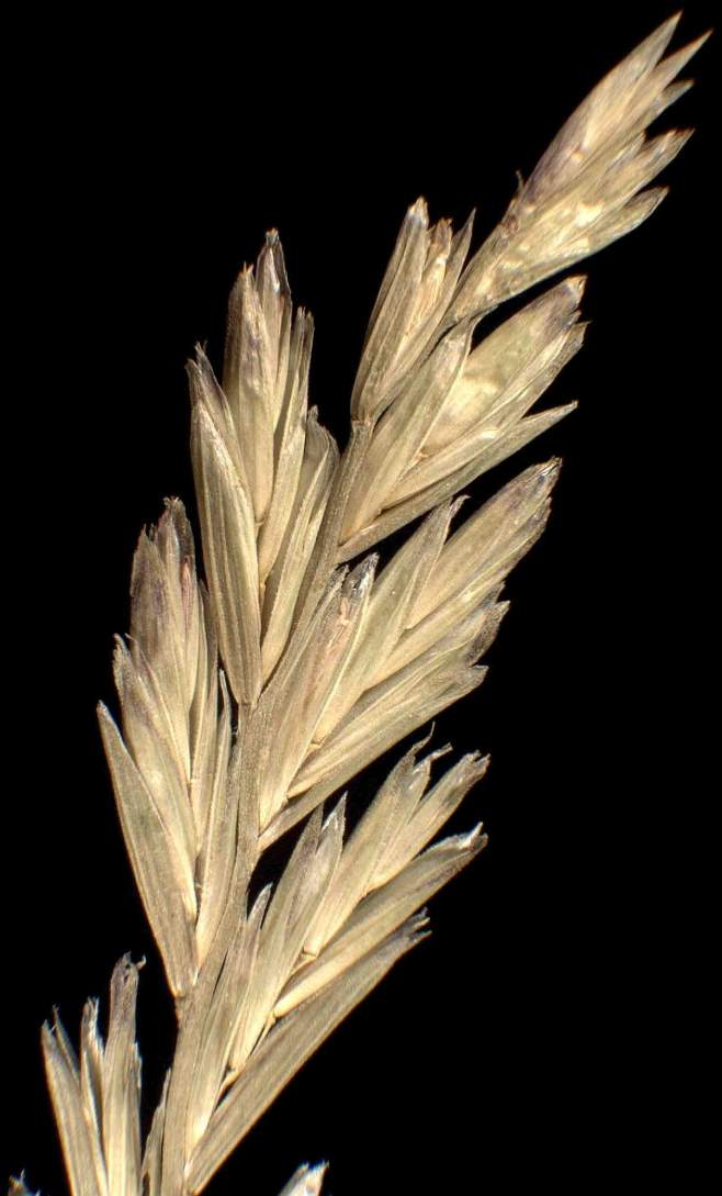 Lolium rigidum subsp. rigidum