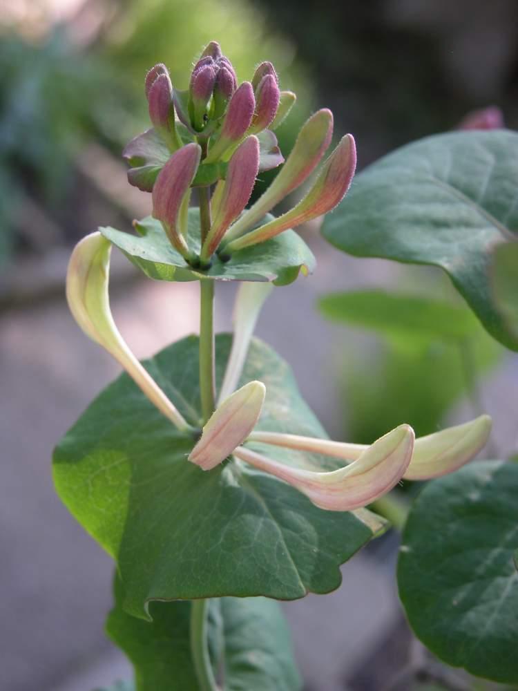 Botanischer Garten Italien Gardasee: Lonicera Caprifolium L.