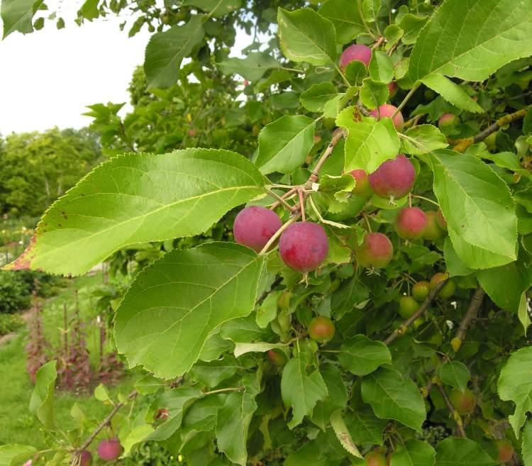 Malus prunifolia (Willd.) Borkh. - plumleaf crab apple