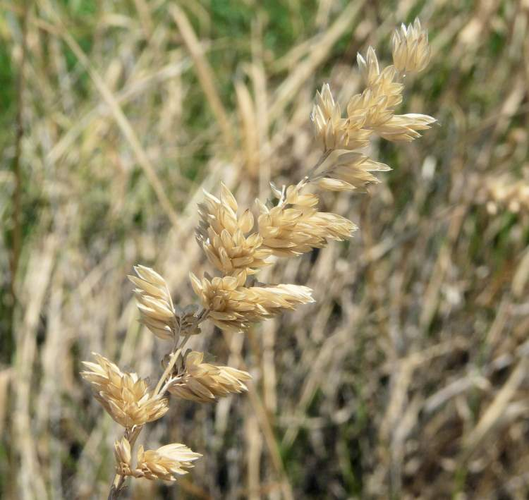 Phalaris aquatica L.