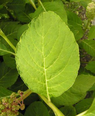 Phytolacca octandra