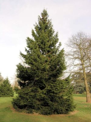 Picea crassifolia - a