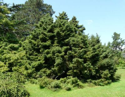 Picea mariana