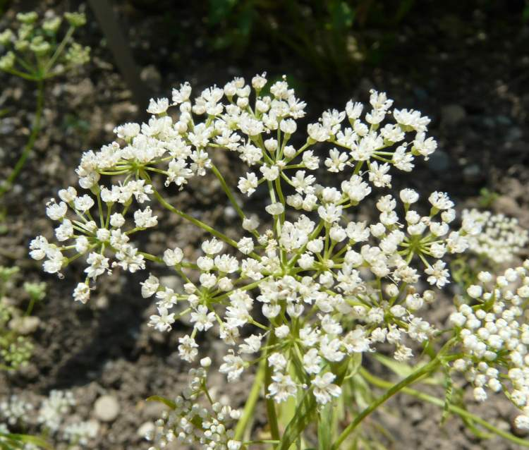 Pimpinella Anisum Seed Pimpinella Anisum