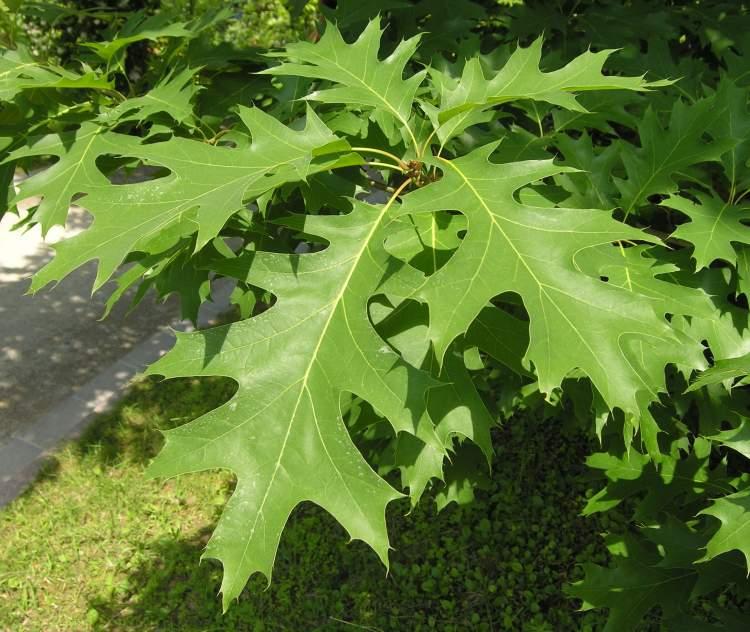 Quercus Rubra http   luirig altervista org flora taxa index2 php    Quercus Rubra
