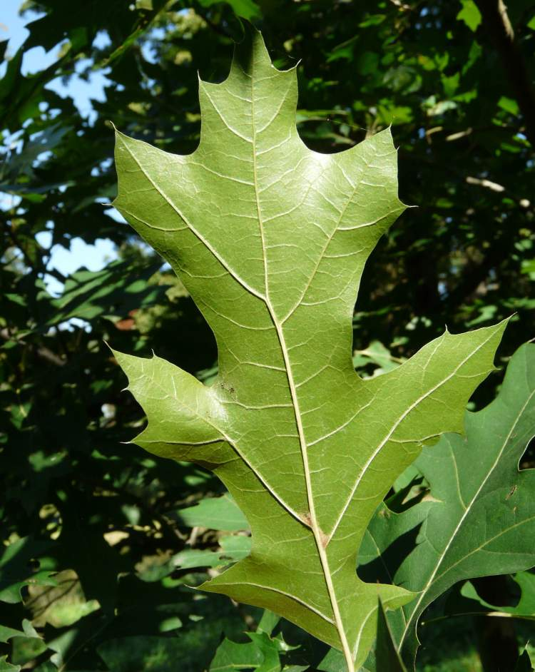 quercus shumardii buckley shumards oak