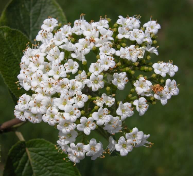 Viburnum lantana l wayfaring tree