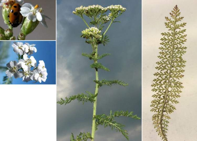 external image achillea-millefolium-subsp-millefolium25035.jpg