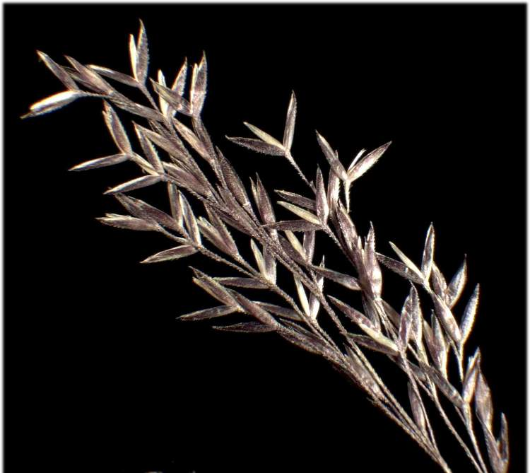 Agrostis canina L. subsp. canina