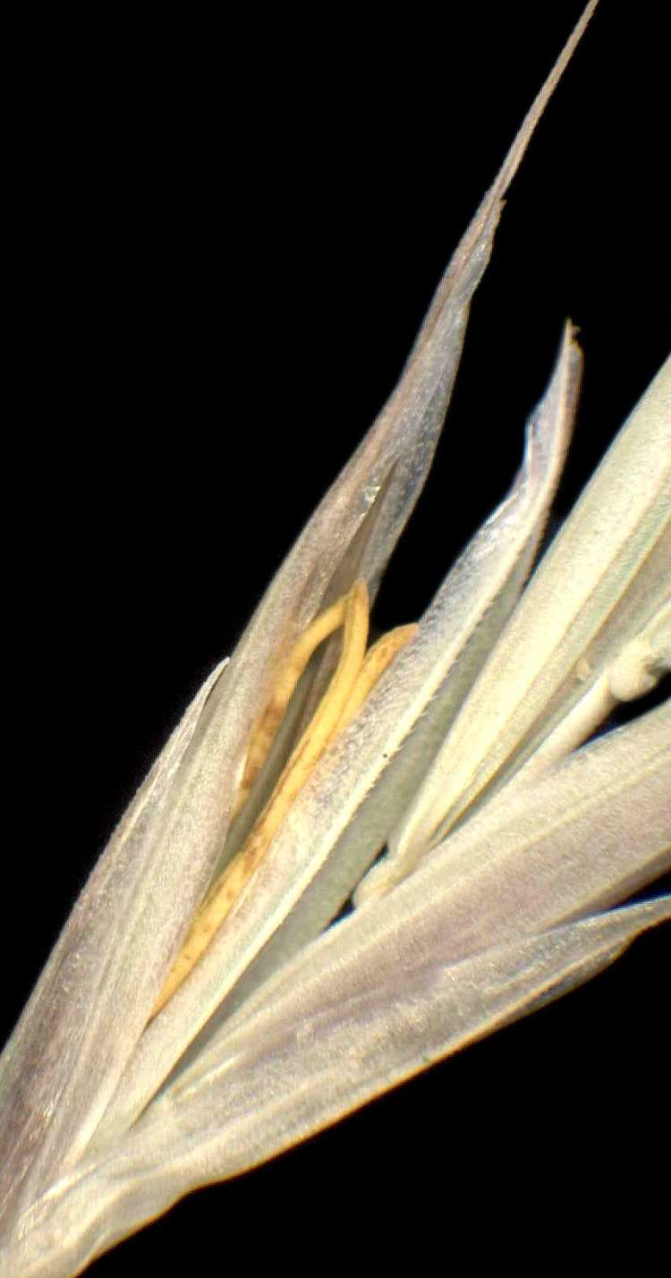 Bromus condensatus subsp. microtrichus
