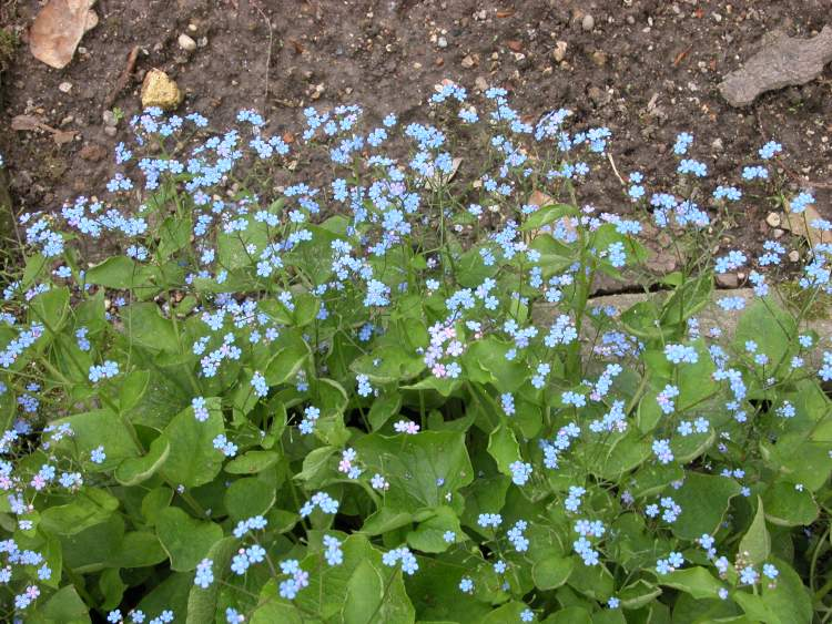 Brunnera macrophylla (Adams) I. M. Johnst.