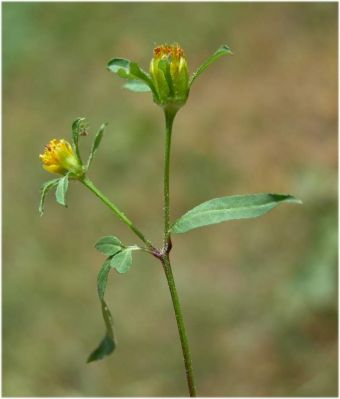 Bidens tripartita subsp. tripartita -