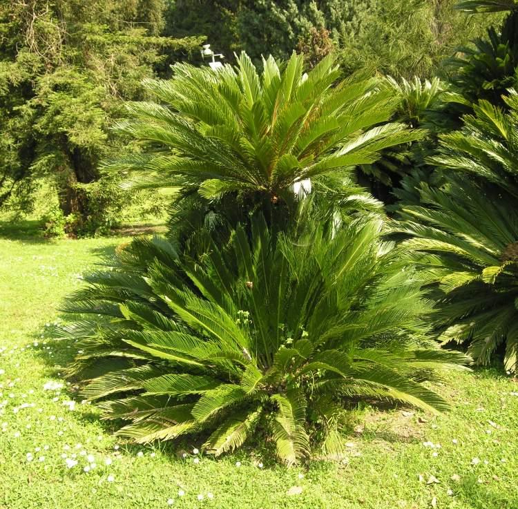 cycas revoluta thunb sago palm. Black Bedroom Furniture Sets. Home Design Ideas