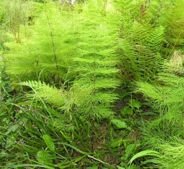 Equisetum sylvaticum L. - woodland horsetail